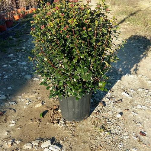Arbusto Sempreverde Dalla Forma Arrotondata. Fogliame Verde E Lucente. In  Febbraio Fiorisce Con Piccoli Fiorellini Di Colore Bianco.